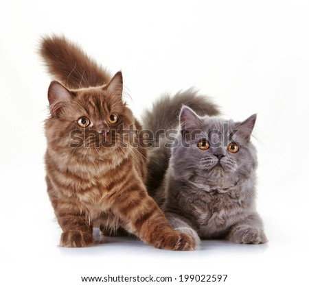 brown and gray british long hair kittens on a white background, 4 month old - stock photo