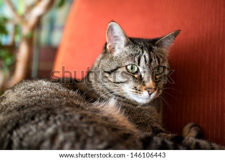 Brown and Gray Tabby Cat Relaxing Inside on Vintage Red Chair - stock photo
