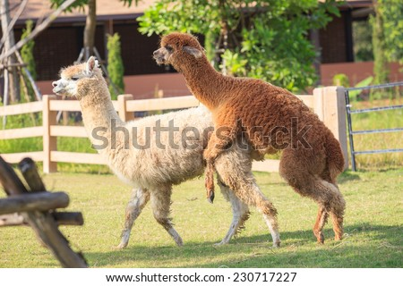brown and light brown llama alpacas mating in ranch farm field - stock photo