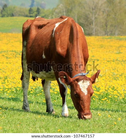Brown and white cow eating in a field of yellow dandelion flowers by springtime - stock photo
