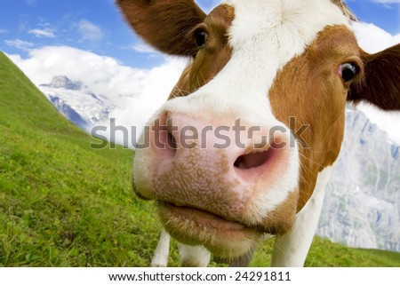 Brown and white cow in the alps, switzerland, with snowy mountains in background - stock photo