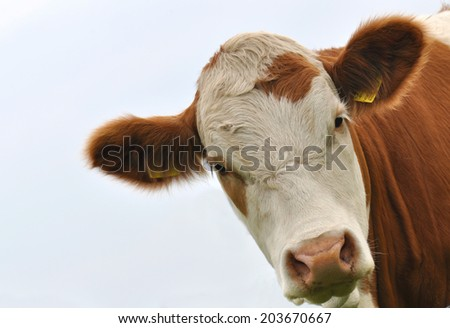 Brown and white cow looking  - stock photo