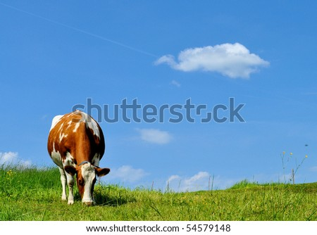 Brown and white cow on green grass with a blue sky and a single cloud - stock photo