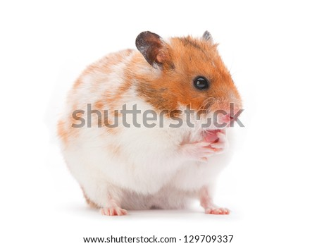 Brown and white hamster isolated on white - stock photo