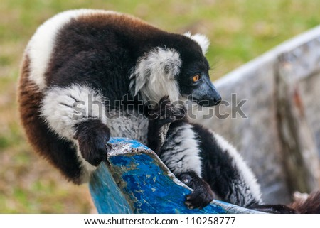 Brown and white lemur Vari (ruffed lemur)  in the east of Madagascar - stock photo