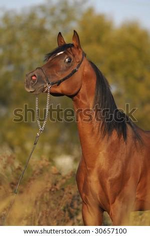 brown arabian horse stallion portrait - stock photo
