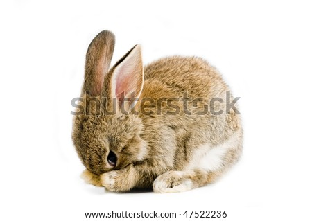 Brown baby bunny isolated on white background - stock photo