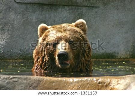 Brown Bear at the Zoo - stock photo