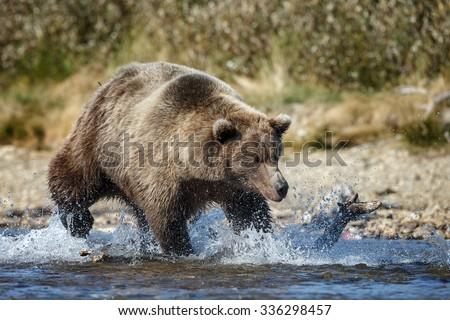 brown bear chasing and eating sockeye salmon at Katmai National Park Alaska - stock photo