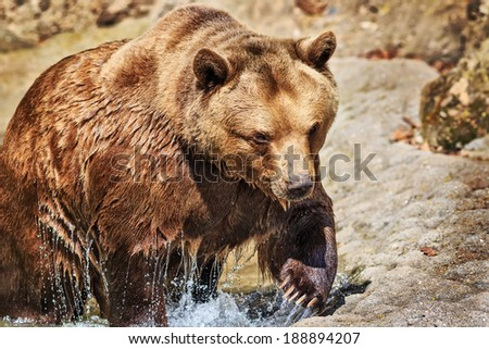 brown bear coming out of the water - stock photo