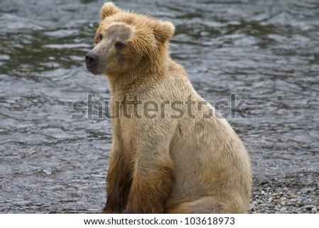 Brown Bear cub in Katmai National Park in Alaska - stock photo