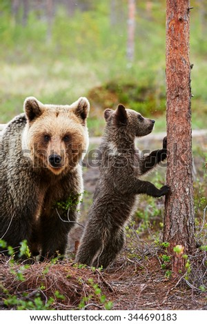 Brown bear cub is leaning on a tree with her mom that controls. - stock photo