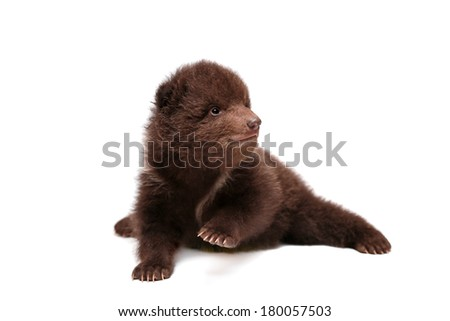 Brown Bear cub (Ursus arctos), 1,5 mounth old, isolated on the white background - stock photo