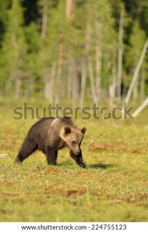 Brown bear cub walking in the bog with forest background - stock photo