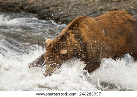 Brown bear dives into a river for a salmon - stock photo