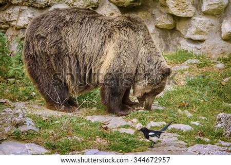 Brown Bear Eats a Fish - stock photo