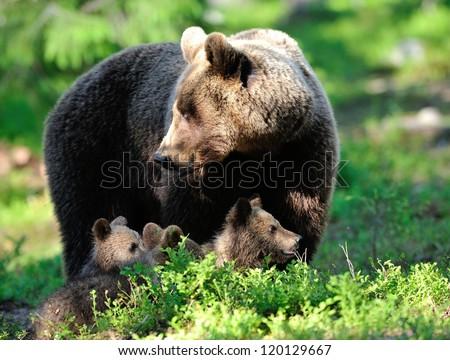 Brown bear family - stock photo