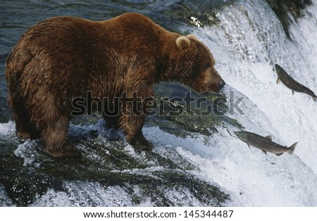 Brown Bear grizzly bear looking at salmon Katmai National Park Alaska USA. - stock photo