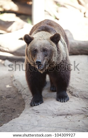 brown bear in an open cage at the zoo - stock photo