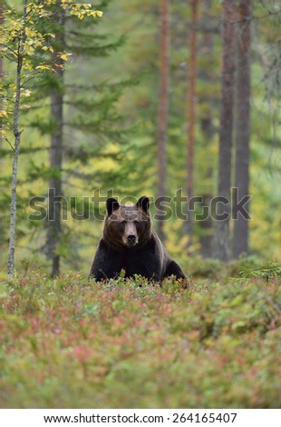 Brown bear in forest - stock photo