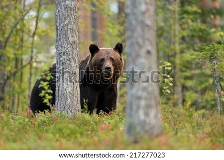 Brown bear in the forest - stock photo
