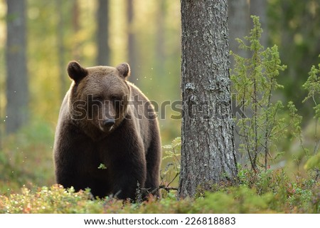 Brown bear in the forest at fall - stock photo