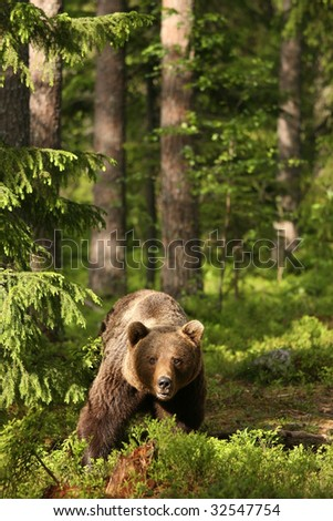 Brown bear in the forest looking at you - stock photo