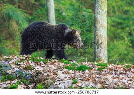 brown bear in the forrest - stock photo