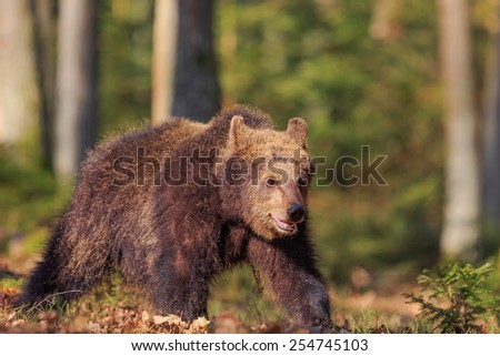 brown bear is hurry up to forest - stock photo