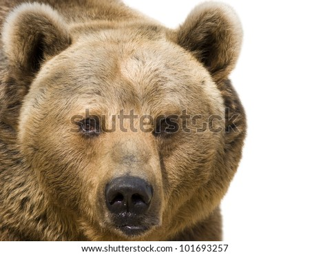 Brown bear - isolated on white background - stock photo