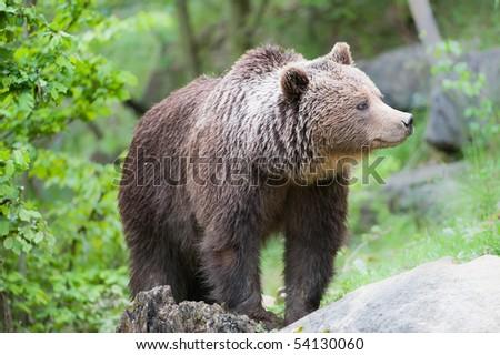 Ursus bear