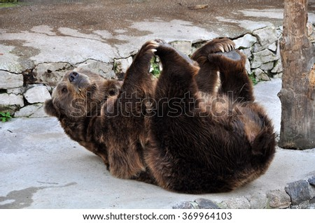 Brown bear lying on his back - stock photo