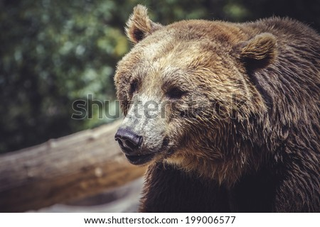 brown bear, majestic and powerful animal - stock photo