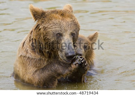 Brown Bear Mother and Her Cub Eating Grapes in the Water - stock photo