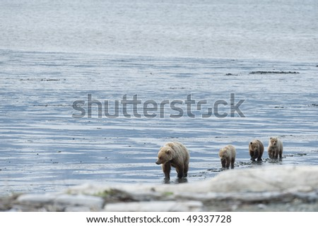 Brown bear mother with her three cubs. - stock photo