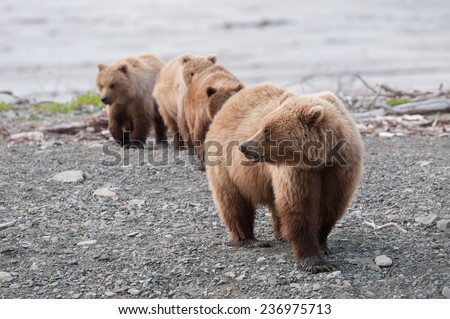 Brown bear mother with three cubs trailing behind her - stock photo