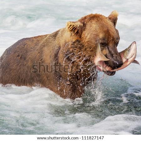 Brown bear on Alaska - stock photo