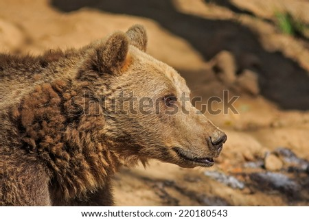 brown bear portrait close up - stock photo