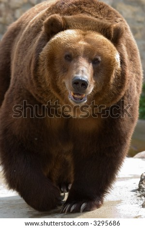 brown bear portrait. close up - stock photo
