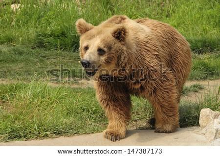 Bear showing teeth Stock Photos, Bear showing teeth Stock ...