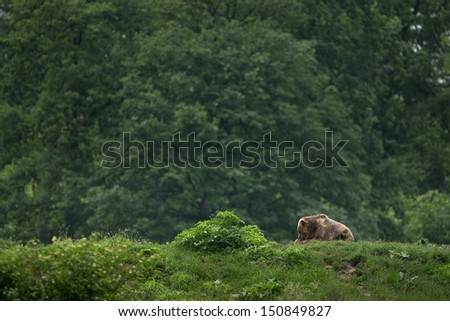 Brown bear sitting in the forest (banner) - stock photo