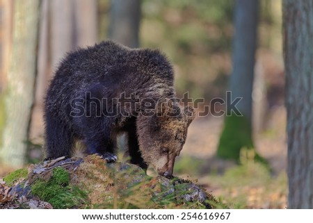 Brown bear snuffing - stock photo