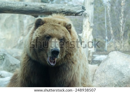Brown Bear taking a break from it's playing - stock photo