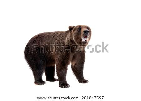Brown bear, Ursus arctos - stock photo