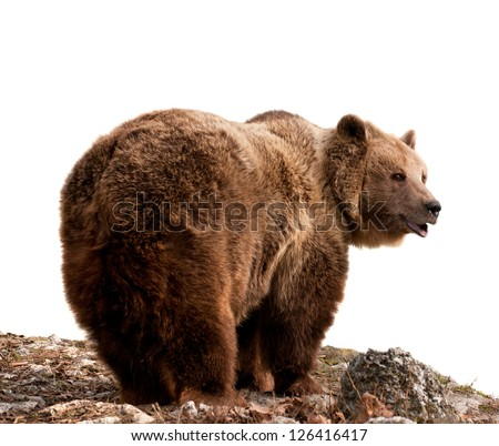 Brown bear (Ursus arctos) Profile view, isolated on white background - stock photo