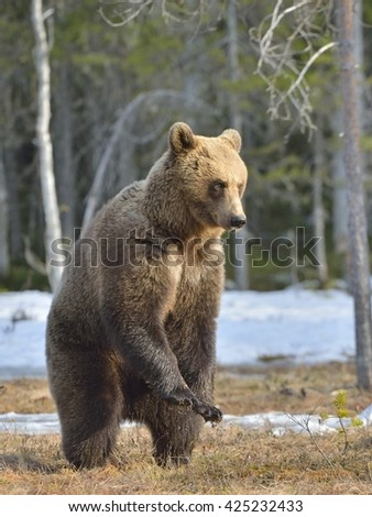Brown bear (Ursus arctos) standing on his hind legs on a swamp in the spring forest. - stock photo