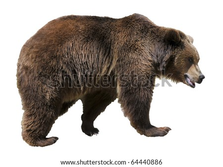 Brown bear (Ursus arctos) view of profile isolated on white background - stock photo