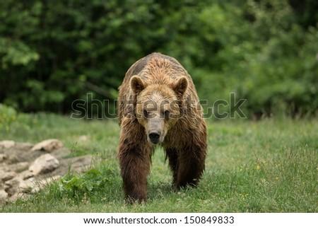 Brown bear walking - stock photo