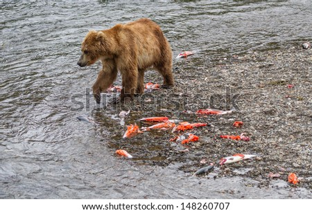 Brown Bear Walking by the Carcasses of Salmon. Aftermath of the Salmon run at Brooks Falls at Katmai National Park, Alaska - stock photo