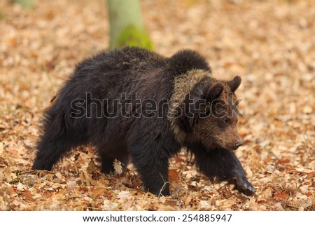 brown bear with leafs background - stock photo